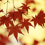 Red-orange leaves of a momiji Japanese maple tree silhouetted against a background of brilliant yellow ginkgo tree leaves. Photographed at the Kita no Tenman-gu in Kyoto, Japan.