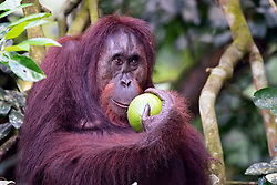 A female orangutan (orang-outan) eats wild lemon, on August 5, 2019 near Sandakan city, State of Sabah, North of Borneo Island, Malaysia. Palm oil plantations are cutting down primary and secondary forests vital as habitat for wildlife including the critically endangered Bornean and Sumatran orangutans. Photo by Emy/ABACAPRESS.COM