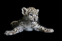Captive male snow leopard cub, Panthera uncia, approximately six weeks old, laying on black background with paws spread.