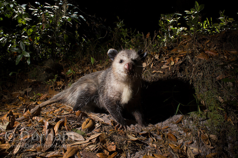 A Virginia opossum (Didelphis virginiana) photographed at night in Timucuan Ecologic and Historical Preserve, Florida.