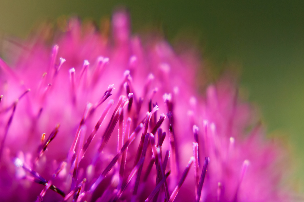 Close-up stock photograph of the pink flowers of a Scotch Thistle (Onopordum sp.)