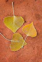 Cottonwood leaves on pink sand, Zion National park Utah USA