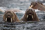 A close-up of a herd of walruses (Odobenus rosmarus)  swimming in the Arctic Ocean ,  Svalbard, Norway
