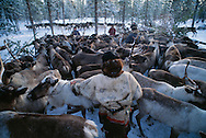 Nenets reindeer, Rangifer tarandus, herdsmen, Kánin peninsula, Russia, Arctic