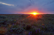 Wildflowers and sagebrush at sunset on the Great Plains of Montana with the Little Rocky Mountains in the background. American Prairie Reserve region of C.M. Russell National Wildlife Refuge south of Malta in Phillips County, Montana.