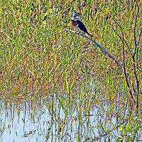 South America, Brazil, Pantanal.  Green Kingfisher perched over water in the Pantanal.