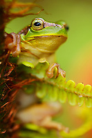 Gaoligongshan Tree Frog, Polypedates gongshanensis, in Fern, Cibotium barometz, Gaoligongshan Mountains, Yunnan, China. Very local endemic species.