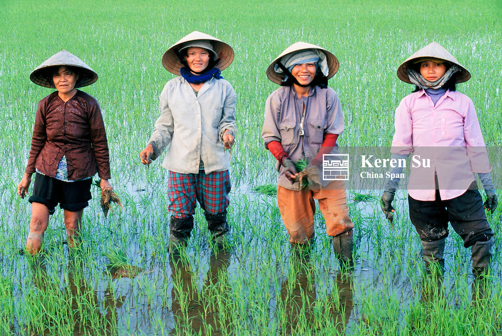 Farmers planting rice seedlings in the rice paddy, South Vietnam