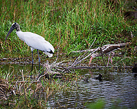 Wood Stork and immature White Ibis in Big Cypress Swamp. Image taken with a Nikon D700 camera and 28-300 mm Vr lens (ISO 200, 300 mm, f/5.6, 1/320 sec).