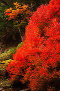 Kōyō (Koyo - Autumn Foliage) As autumn descends, it turns Japan's forests radiant shades of red, orange, and yellow. Photographed in Japan in November