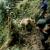 PERU, Horsemen pull pack animals back onto jungle trail in upper Amazon cloud forests during archaeology expedition to pre-Incan tomb.