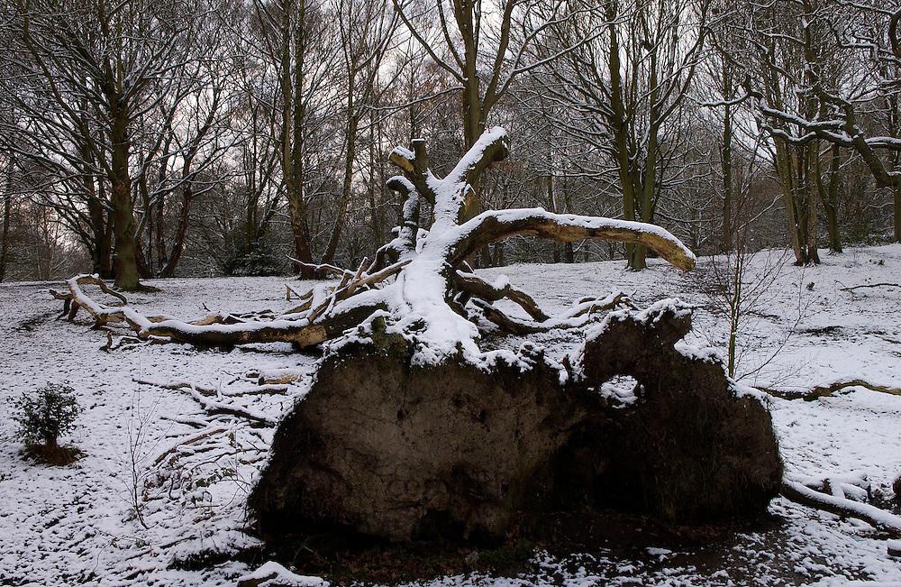 Snow Covered Fallen Tree, Hampstead Heath, London