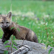 Red Fox, (Vulpus fulva) Young fox pup standing near fallen tree. Spring.
