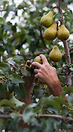Photo Randy Vanderveen.Osoyoos, BC.A picker harvests pears in the South Okanagan Valley of BC.