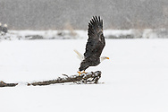 Bald Eagle (Haliaeetus leucocephalus) takes off in search for salmon in the Chilkat Bald Eagle Preserve in Southeast Alaska. Winter. Morning.
