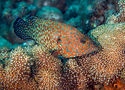 Cephalopholis miniata, also known as the coral grouper, coral hind, coral rock cod, coral cod, coral trout, round-tailed trout or vermillion seabass is a species of marine ray-finned fish, a grouper from the subfamily Epinephelinae which is in the family Serranidae on Joelle's Reef, Papua New Guinea