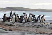 Group of magellanic penguins (Sphreniscus magellanicus) from Sea Lion Island, the Falklands.