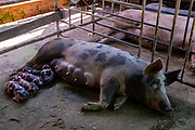 Pigs on a farm. Angkor Wat, Siem Reap, Cambodia.