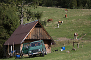 Cattle graze of lush grass near a traditional Polish shepherd's hut on the hillside, on 20th September 2019, Biala Woda, Jaworki, near Szczawnica, Malopolska, Poland.