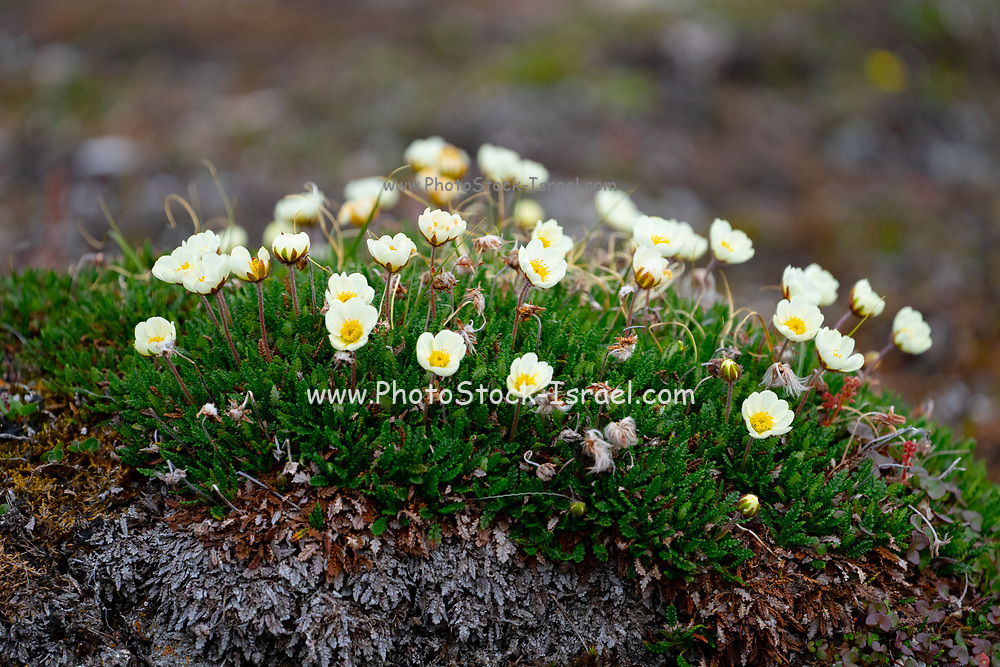 Saxifraga cespitosa, the tufted alpine saxifrage or tufted saxifrage, is a flower common to many arctic heights. It appears further south in mountainous areas of the Alps, Norway, Scotland, Wales, Iceland, Siberia, and western North America. Photographed in Spitsbergen, Norway in July