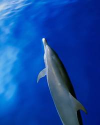 pantropical spotted dolphins, bow-riding, Stenella attenuata, note - closed blowhole, off Kona Coast, Big Island, Hawaii, Pacific Ocean