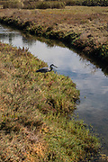 Great Blue Heron, Ballona Wetlands, Playa Del Rey, Los Angeles, California, USA