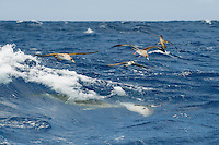 Cory shearwater, Calonectris diomedea, and common dolphins, delpinus delpis, hunting horse mackerels close to the surface in a rough sea..Pico, Azores, Portugal