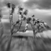 Joshua Trees Awaiting Storm - Lensbaby - Infrared Black & White