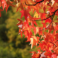 """Autumn Cornered""<br /> <br /> A delightful sunbathed Maple tree in peak foliage!!<br /> <br /> Fall Foliage by Rachel Cohen"