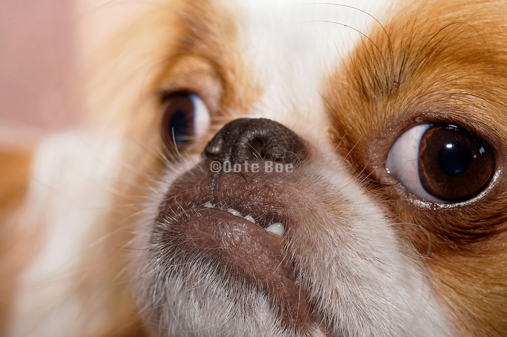 little dog bulling a funny face