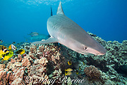 tiger sharks, Galeocerdo cuvier, swim over coral reef with bluefin trevally or omilu, racoon butterflyfish, threadfin butterflyfish, bluestripe snapper or ta'ape, and other reef fish, Honokohau, Kona, Big Island, Hawaii, USA ( Central Pacific Ocean )