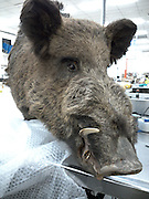 Human skulls, a giant boar's head and stuffed animals: The weirdest items seized by immigration officials from smugglers trying to bring them into Australia<br /> <br /> Human skulls, a boar's head, a spooky sacrificial bat and bear claws are some of the strangest items that airline passengers have tried to bring into the country.<br /> The objects were intercepted by Australian immigration officials in the last year from travellers because they pose a biosecurity risk.<br /> Australian Border Force issued up to 3,500 infringement notices to people who tried to smuggle the items in the 2015/16 financial year. <br /> <br /> The international black market is rife with trade in animal products that could harbour pests and diseases that pose a serious risk to the health of Australian people, animals and plants.<br /> 'That's why our biosecurity officers work at the border to intercept these items if they arrive on our shores,' Australian Biosecurity said <br /> <br /> 'But trade in endangered species is also heavily restricted under international conventions, and we immediately refer any suspected cases to the Department of Environment and Energy.'<br /> Deputy Prime Minister and Minister for Agriculture, Barnaby Joyce said the government would spend $1 million to strengthen Australia's biosecurity.<br /> 'Australia is particularly sensitive about biosecurity, and it is everyone's responsibility to keep us safe,' he said.<br /> 'If you take our biosecurity laws as a joke, you take our nation as a joke<br /> <br /> Photo shows: One of the most impressive items intercepted by Australian biosecurity officers last year was an entire boar's head. The delivery from Russia was eventually cleared after no biosecurity issues were identified<br /> ©Department of Agriculture and Water Resources/Exclusivepix Media