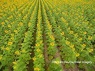 63801-11313 Sunflower field-aerial Jasper Co.  IL