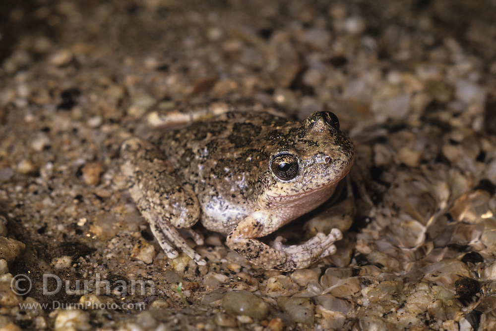A california treefrog (Pseudacris cadaverina) in a small stream running through granite boulders, Anza-Borrego State Park, California. Cryptic coloration makes these treefrogs difficult to spot when sitting on a granitic rock.