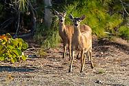 Key Deer on No Name Key in Florida, USA