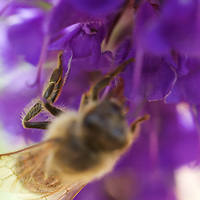 Hovering above a honeybee hard at work pollinating some backyard flowers