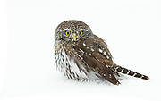 Northern Pygmy Owl in winter hunts for song birds and mice.