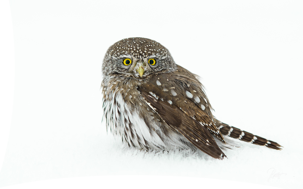 Northern Pygmy Owl in winter hunts for song birds and mice.(NOTE CLIPPING EXISTS IN EDGES. FILLED IN PS)
