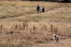 © Licensed to London News Pictures. 10/08/2020. London, UK. Walkers stroll through the grassy hills in Richmond Park in South West London which is normally a vibrant green has turned to a golden straw colour as the tropical heatwave continues to hit the South East of England with temperatures in excess of 34c for the next few days giving way to thunderstorms on Thursday. Photo credit: Alex Lentati/LNP