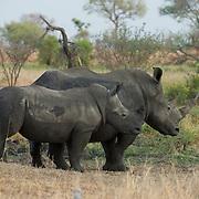White Rhino, mother with her calf, Londolozi Game Reserve, South Africa.