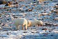 01874-11908 Polar Bears (Ursus maritimus) at seal kill, Churchill Wildlife Management Area, Churchill, MB Canada