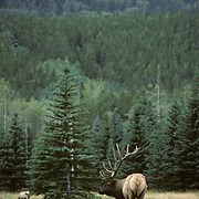 Elk (Cervus canadensis) bull in a meadow stands guard over a cow harem during fall rut in Wyoming.