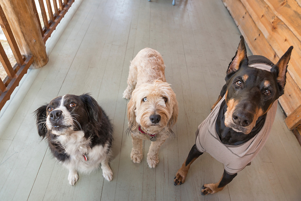 Three dogs on a rustic porch looking at the camera