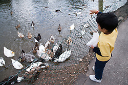 Young boy feeding ducks on a children's outing to a working farm,