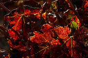 Orange, Red and brown autumn coloured vine leafs