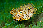 Web Burrfish Chilomycterus antillarum swims over algae in the Palm Beach Inlet, Florida.