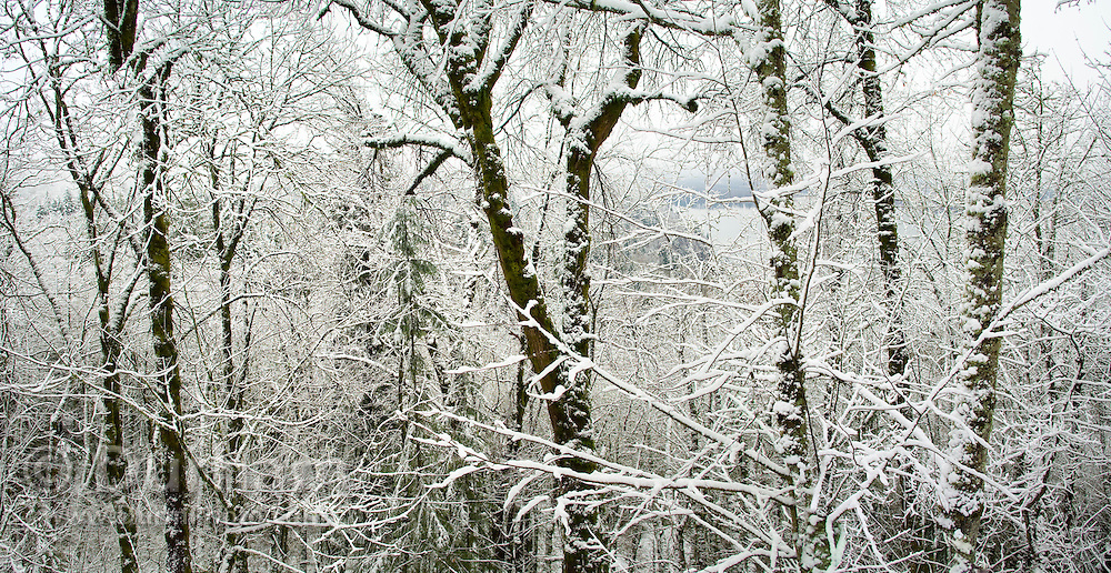Fresh snow in the forest. Columbia River Gorge National Scenic Area, Oregon.