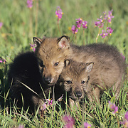 Gray Wolf (Canis lupus) pups in a field of blooming Shooting Star flowers in southwest Montana. Captive Animal