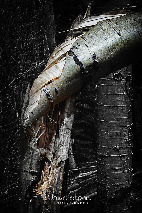 A split and twisted aspen, highlighting the texture and color of the bark.<br /> <br /> Wall art is available in metal, canvas, float wrap and standout. Art prints are available in lustre, glossy, matte and metallic finishes.