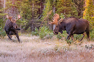 Bull Moose showing dominance during the rut